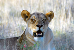 Lioness yawning. A lioness yawning while resting outside in the field Stock Images