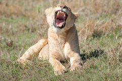 Lioness Yawning royalty free stock images