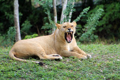 Lioness yawning looks like growl. Full body lioness yawns while lying on grass at local zoo Royalty Free Stock Photography