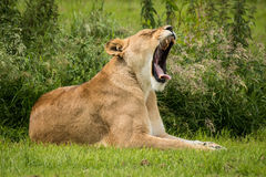 Lioness yawning Stock Photography