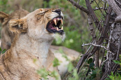 Lioness yawning South Africa Stock Images
