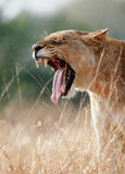 Lioness yawns Stock Image
