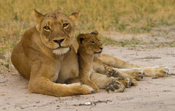 A Lioness and young cub on the dusty plains in Hwange Stock Images