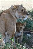 Lioness and young lion. Royalty Free Stock Photo