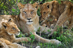 Lioness & young lion Royalty Free Stock Photo
