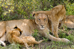 Lioness & young lion Stock Images
