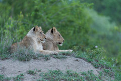Lioness and young lion Stock Photography