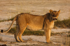 Lioness yowls at photographer in Namibia near water hole Stock Photography