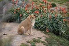 Lioness. In a zoo of Australia Royalty Free Stock Image