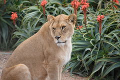 Lioness. In a zoo of Australia Stock Photos