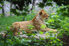 Lioness at the zoo. Lioness in captivity at Kiev Zoological garden royalty free stock photos