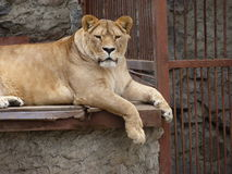 Lioness in the zoo. A lioness couchant in the open-air cage in the zoological garden stock photo