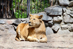 Lioness at the zoo Royalty Free Stock Image