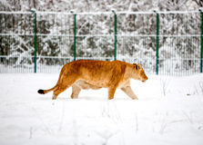 Lioness At The Zoo. Mature Bored Lion Walking Quietly Through Snow Stock Image