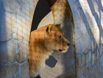 Lioness in a zoo overlooking its domain Stock Images