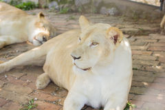 Lioness in the ZOO Royalty Free Stock Image