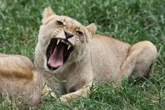 lionessbrummande Arkivfoton
