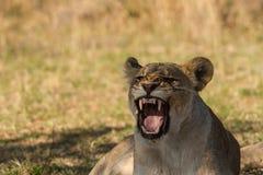 Lionesse在非洲 免版税库存图片