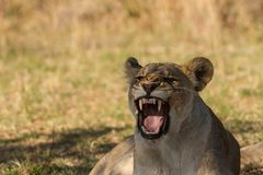 Lionesse in Africa Royalty Free Stock Image