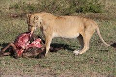 Lionesse łasowania utrzymania zdobycz Obraz Royalty Free