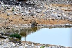 Lionesse dricksvatten i Etosha parkerar, Namibia Royaltyfria Bilder