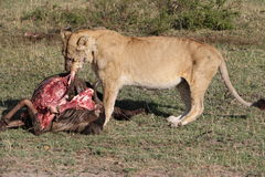 Lionesse eating living prey Royalty Free Stock Image