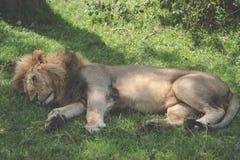 Lionesse het rusten Stock Afbeeldingen