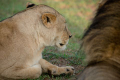 Lionesse het rusten Royalty-vrije Stock Fotografie