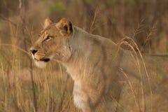 Lionesse jakt i Afrika Arkivbilder