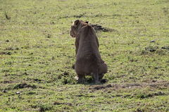 Lionesse pooping Stock Photo