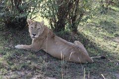 Lionesse w dzikim fotografia stock