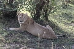 Lionesse in the wild Stock Photography