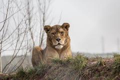 Lionessen på vilar Royaltyfri Bild
