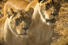lionesses Royaltyfri Bild