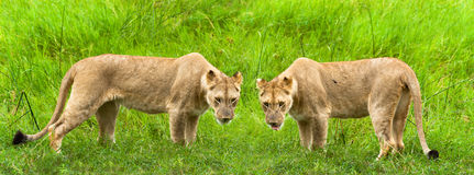 Two lionesses Royalty Free Stock Photography