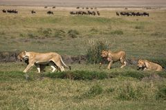 Lionesses. Animals 072 lions Royalty Free Stock Image