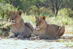 Lionesses in africa. 2 lionesses relaxing in the shade of an african thorn tree Royalty Free Stock Image