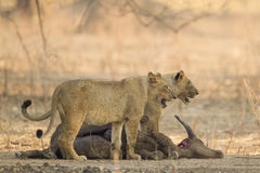 Lionesses on African Buffalo kill Royalty Free Stock Photography