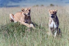 Lionesses in the African savanna. Two lionesses in the African savanna Stock Images