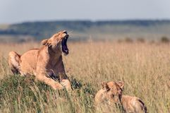 Lionesses in the African savanna. Two lionesses in the African savanna Stock Photography