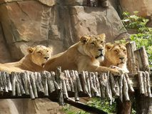 Lionesses Animals Mammals Zoo royalty free stock image