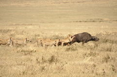 Lionesses attacking a water buffalo. A group of lionesses attacking a water buffalo Royalty Free Stock Images