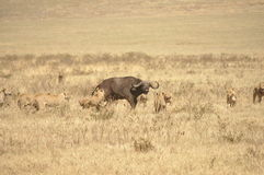 Lionesses attacking a water buffalo Stock Photography