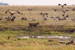 Lionesses chasing vultures from a kill. royalty free stock photo