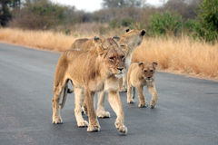 Lionesses and a cub Stock Photo