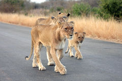 Lionesses and a cub Stock Photos