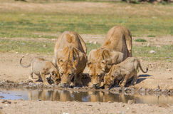 Lionesses and cubs drinking Royalty Free Stock Image