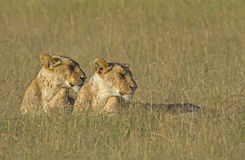 Lionesses in the early morning light Panthera leo Royalty Free Stock Photography