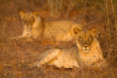 Lionesses in the early morning sun Stock Image