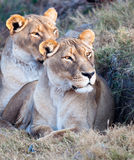 Lionesses early sun Stock Photography